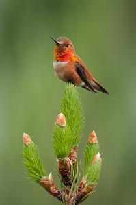 Rufous hummingbird 5527