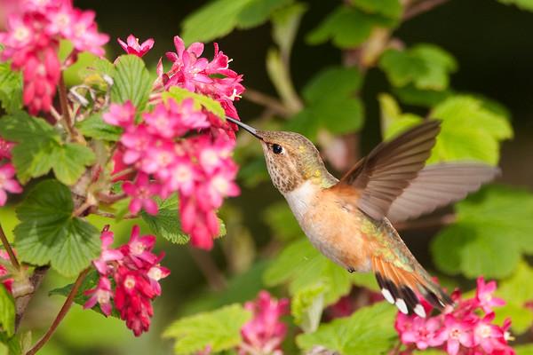 Rufous Hummingbird 8616