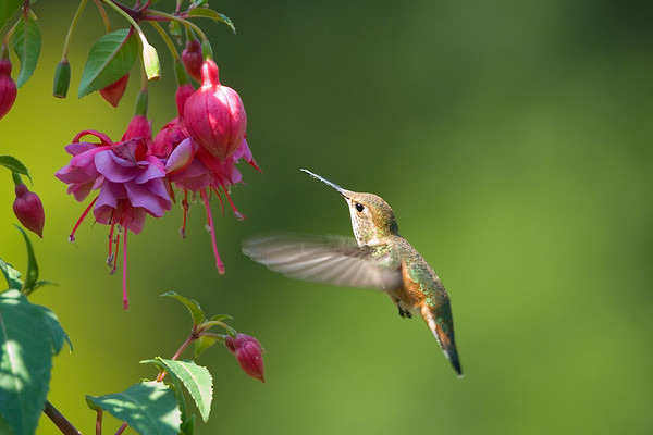 Rufous Hummingbird 4131