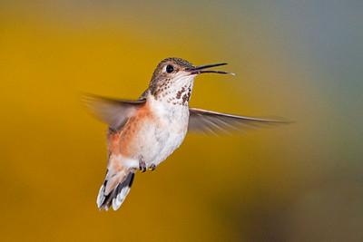 Rufous Hummingbird 2370