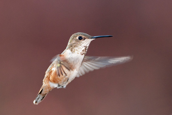 Rufous Hummingbird 6367
