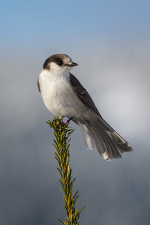 """Gray Jay - the new """"Bird of Canada"""" and a number of customer requests led to a drive up to Strathcona Park on central Vancouver Island in search of them.  Such a fun shoot with them landing on our lenses, tripods, hands, just getting them on to a natural perch can be challenge.   I love this shot with the distant Mountain backdrop.  We were extremely lucky to have a sunny day in December.  Species 188 for my Photo Big Year on the island."""