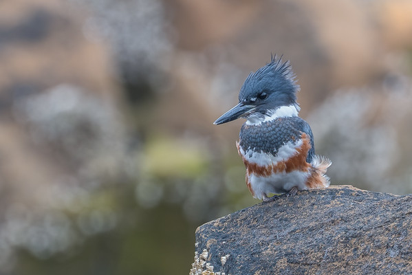 A Belted Kingfisher moves in.