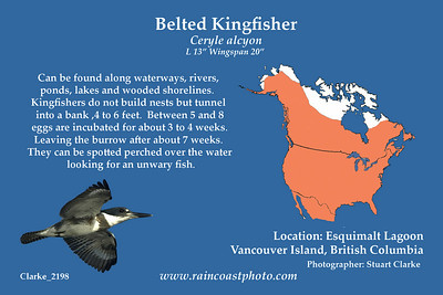 Can be found along waterways, rivers, ponds, lakes and wooded shorelines. Kingfishers do not build nests but tunnel into a bank ,4 to 6 feet.  Between 5 and 8 eggs are incubated for about 3 to 4 weeks.  Leaving the burrow after about 7 weeks. They can be spotted perched over the water looking for an unwary fish.