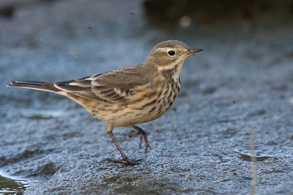 American Pipit - species 167.  With 30km/hr winds today I was hoping I mught find some migratory dropouts down at Cowichan Bay.   The one walk is a great spot to find horned lark at this time of year.  No larks today but was really happy to get my best shots of Amercian Pipits.   They are a skittish bird but I was really lucky to have one approach me feeding along the shoreline.