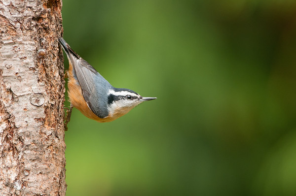 Red-breasted Nuthatch 7384