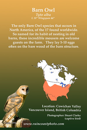Barn Owl Tyto alba The only Barn Owl species that occurs in North America, of the 17 found worldwide. So named for its habit of nesting in old barns, these incredible mousers are welcome guests on the farm.   They lay 5-10 eggs often on the bare wood of the barn structure.