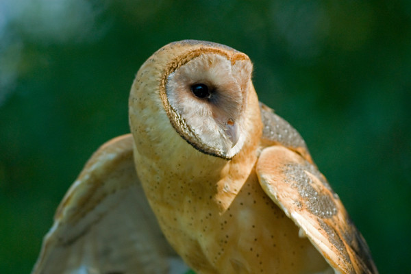 Barn Owl  Tyto alba 3771