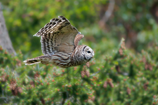 Barred Owl 8910