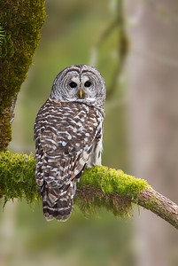 Barred Owl, Old Growth