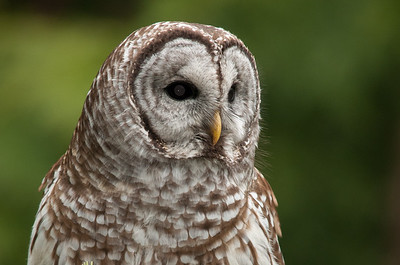 Barred Owl 0972