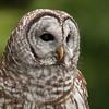 Barred Owl 0972