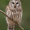 Barred Owl 0894