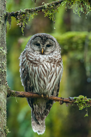 Barred Owl In Coastal Forest