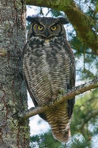 Great Horned Owl 2500 Bubo virginianus