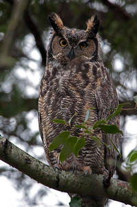 Great Horned Owl  Bubo virginianus
