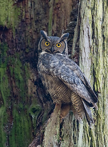 A Great Horned Owl protecting the nest site.