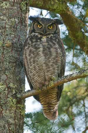 Great Horned Owl. 2500 Bubo virginianus