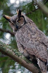 Great Horned Owl  Bubo virginianus