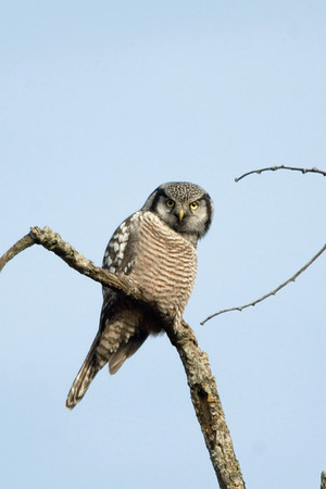 Northern Hawk Owl 9707