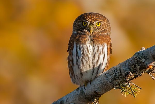 Northern Pygmy Owl 6937