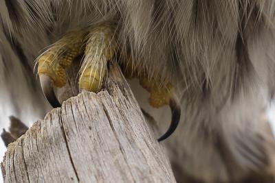 Pygmy Talons