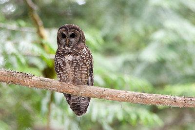 Northern Spotted Owl 6206