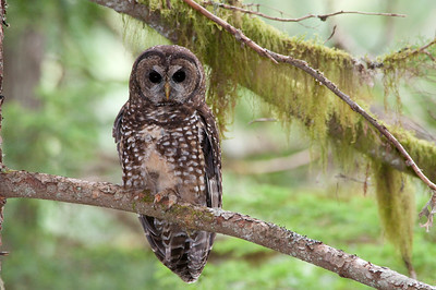 Northern Spotted Owl 6150