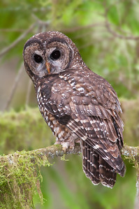 Northern Spotted Owl 6226
