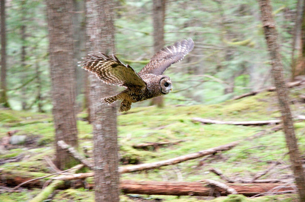 Northern Spotted Owl 6030