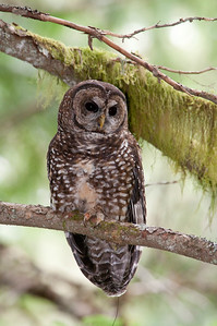 Northern Spotted Owl 6172