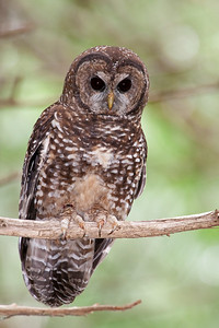 Northern Spotted Owl 6056
