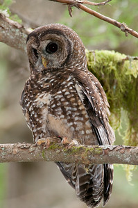Northern Spotted Owl 6092