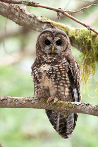 Northern Spotted Owl 6141