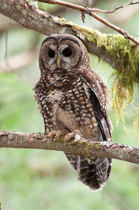 Northern Spotted Owl 6106