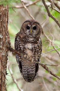 Northern Spotted Owl 6000