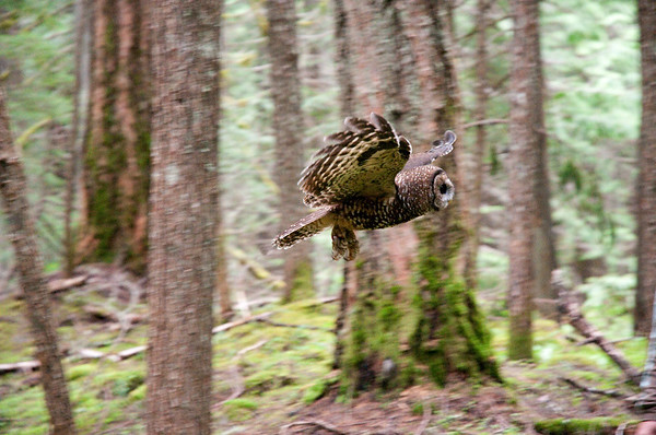 Northern Spotted Owl 6032