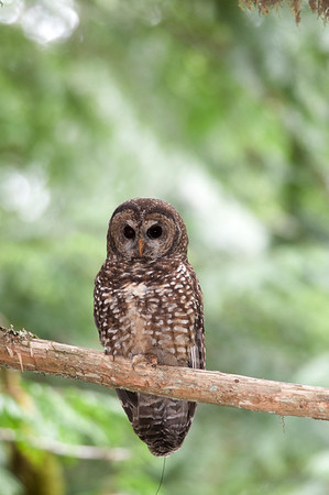 Northern Spotted Owl 6210
