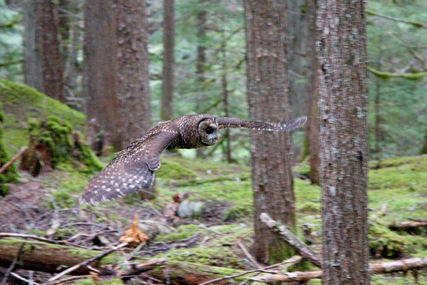 Northern Spotted Owl 6029