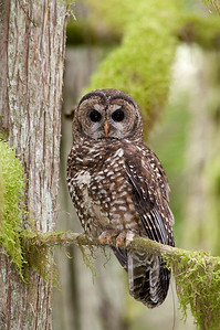 Northern Spotted Owl 6253