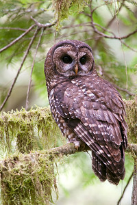 Northern Spotted Owl 6237