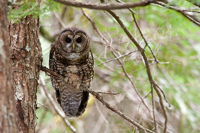 Northern Spotted Owl 6017