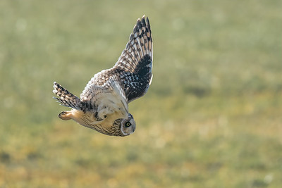 Short-eared Owl hunting.