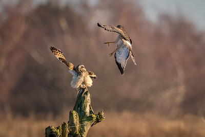 Gimmy your best shot Harrier!