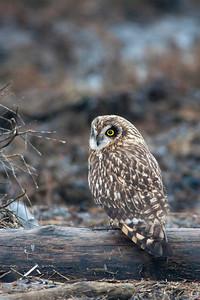 Short-eared Owl, Asio flammeus 3643
