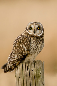 Short-eared Owl, Asio flammeus 3494