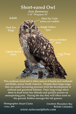 This medium sized owl is often seen as it hunts over wetlands and fields, across North America.  Despite their large range they are under increasing pressure from the development of wetland and grassland habitats. Their long wings allow them to hunt from low altitude and quickly pounce on unsuspecting prey.  During the day they will often roost on  the ground, hidden amongst the tall grasses. Short-eared Owl, Asio flammeus