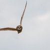 Short-eared Owl, Asio flammeus 5518