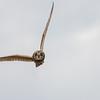 Short-eared Owl, Asio flammeus 5518