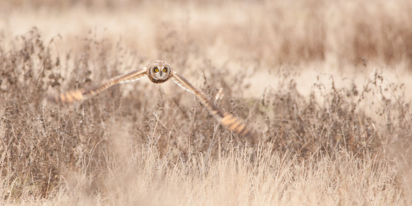 Short-eared Owl, Asio flammeus 5507